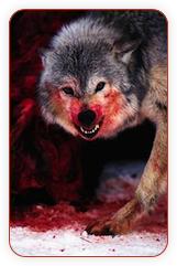 Человек собаке — волк