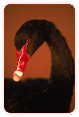 Утки vs. Лебеди